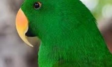 GREEN Parrot est dans le RED