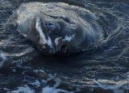 Un poisson lune échoue à Fond Bernier en #Martinique