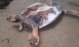 Une tortue décapitée à Sainte-Anne en #Martinique