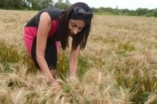 Première moisson de blé à l'île Maurice