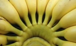 Les planteurs de bananes de #Martinique mangent-ils des bananes et des produits maraîchers locaux ?