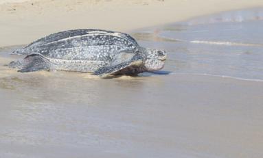La lutte pour la vie d'une #tortue #luth aux salines en #Martinique