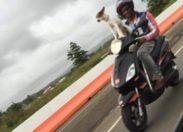 L'image du jour (29/0515) #chien #scooter #martinique