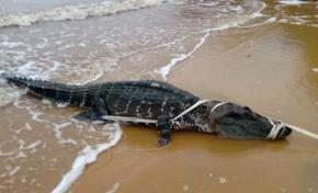 Un caïman retrouvé sur la plage de Bourda à  Cayenne en Guyane