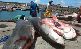 14 requins péchés en Martinique  [Les photos]