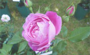 Jardin de la maison Oudin : Au nom de la rose Bourbon - Journées Européennes du Patrimoine à la Réunion