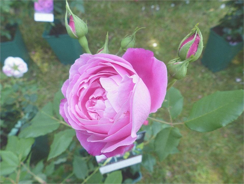 Jardin de la maison oudin au nom de la rose bourbon for Autour de la maison rose