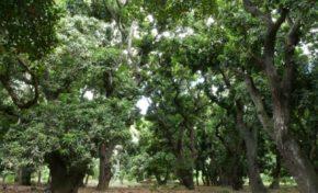 Réserve naturelle nationale de l'étang Saint-Paul : Laperrière ou le Vieux Saint-Paul, 200 ans de culture de la mangue - Journées Européennes du Patrimoine à la Réunion