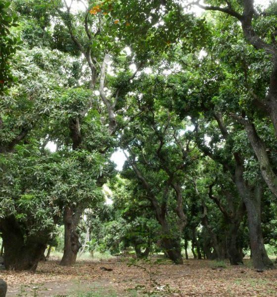 Réserve naturelle nationale de l'étang Saint-Paul : Laperrière ou le Vieux Saint-Paul, 200 ans de culture de la mangue – Journées Européennes du Patrimoine à la Réunion