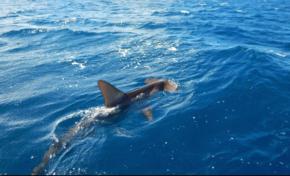 Images du jour [21/03/17] Requin marteau - Martinique