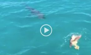 Le requin attaque une tortue (vidéo)