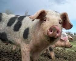 Sois Lucide et balance enfin ton porc en Martinique !