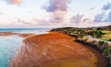 L'image du jour 09/03/18 - Martinique - Algues sargasses