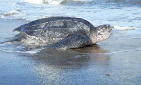 Des tortues luth viennent pondre sur la plage du tombolo à Sainte-Marie en Martinique
