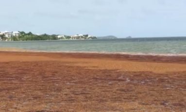 Les algues  sargasses envahissent la baie du Robert en Martinique