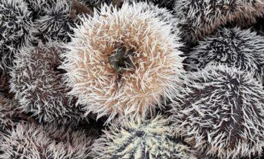 Martinique : oursins...sains ou avec chlordécone ?