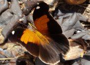 Images de Martinique - Papillon - Prêcheur