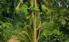 L'image du jour 06/11/18 - Cocotier-Papayer-Martinique