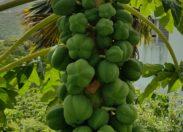 Les images du jour 30/06/19 - Papayer - Martinique