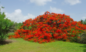 Les deux plus beaux flamboyants au monde se trouvent à Dostaly en Martinique